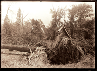 Image of Big honey locust that stood near the center of the Arboretum, just west of the creek, destroyed by the tornado of May 27, 1896.  One 5x7 in. print.