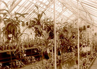 Image of Nepenthes growing in the Orchid House in 1890's, interior view.