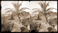 Image of Date palm in Parterre in 1890's.