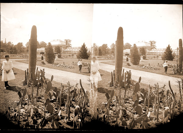 Image of Cacti planted in Parterre.  Taken from Stereo View.