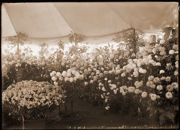 Image of Interior view of the Chrysanthemum tent in front of Linnaean House in 1905.  PRINT AVAILABLE -- SEE PHO 1982-0075.