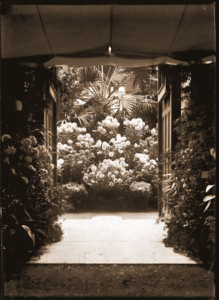 Image of Chrysanthemums in main entrance to Linnaean House in 1905.  PRINT AVAILABLE -- SEE PHO 1982-0077.