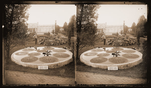 Image of Euryale ferox water lily displayed in lily pond, horticulturalist James Gurney and part of Main Greenhouse Range in background.