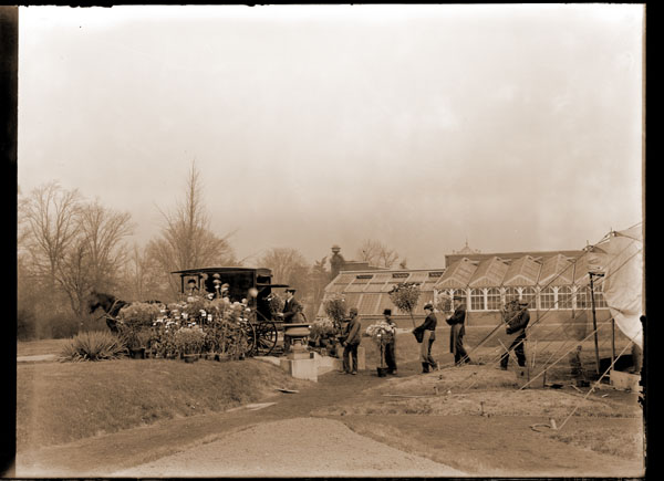 Image of Chrysanthemum show. Gardeners loading plants for delivery to charities after the show.  Part of 1868 Conservatory range in background.