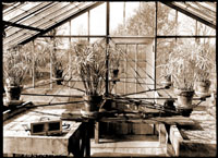 Image of Rotating table with tobacco and cyperus plants located in the Experimental Greenhouse.  1- 5x7 in. print.