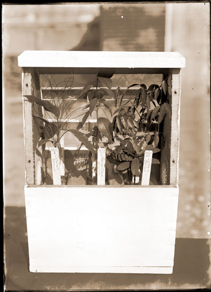 Image of Wardian Case with the front glass removed. Plate 11, vol. 2, 1914 MBG Bulletin.