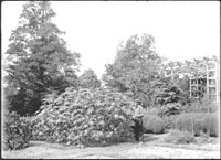 Image of Ricinus communis also know as the Castor Oil Plant.  Group of plants with gardener standing by Test Garden.
