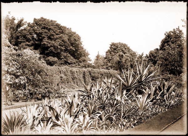 Image of Agave collection in bed.  View in Missouri Botanical Garden looking west from Agave Dome near Before-After Gardens.