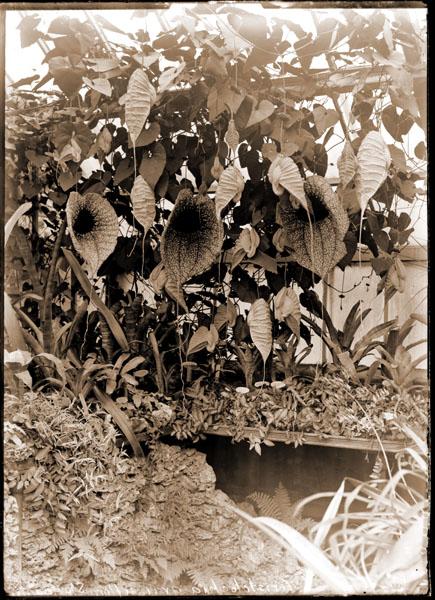 Image of Aristolochia grandiflora Sturtevanti growing in greenhouse.
