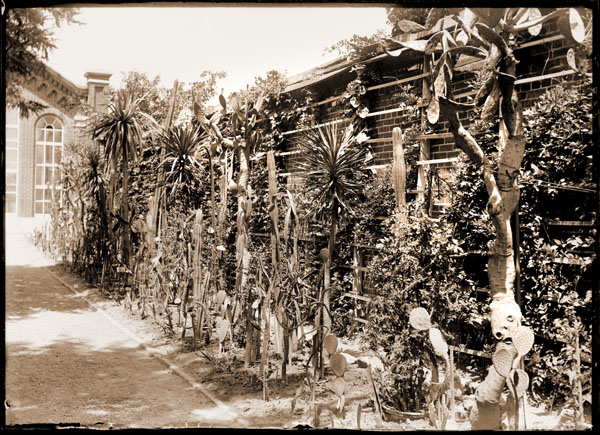 Image of Cacti against wall at east end of Linnaean House.  Picture taken in 1890.