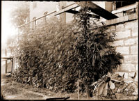 Image of Cannabis sativa growing against a wall of an unidentified house.  Picture taken in 1904 by George Moore. 1- 5x7 in. black and white print.
