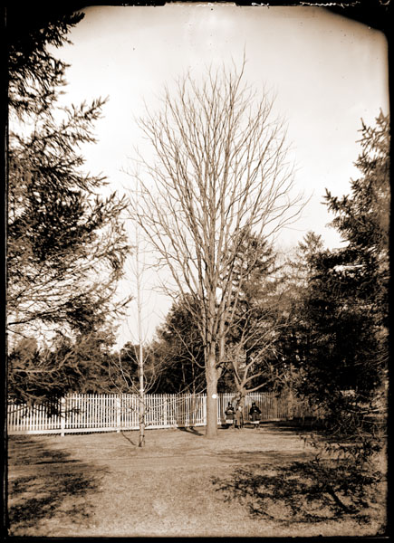 Image of Gymnocladus dioica, also known as the Kentucky coffee tree in winter. Children under tree.
