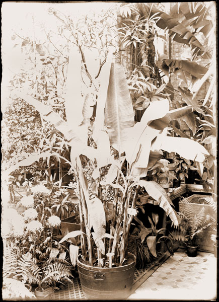 Image of Musa textilis also known as Manilla hemp in greenhouse.