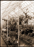 Image of Nepenthes in greenhouse called the Pit House.  Plants in greenhouse beds.