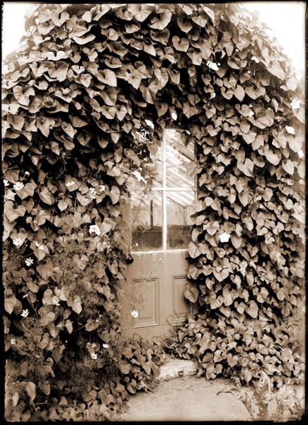 Image of Vine growing profusely on end of greenhouse.  Vine covered doorway to Vegetable Greenhouse.  Ipomoea bona-nox.