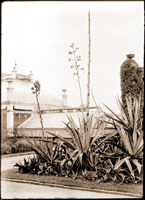Image of Agave group, looking east from display greenhouse. Main greenhouse on left.  PRINT AVAILABLE -- SEE PHO 1983-0468.  Folder - Conservatory (Main Greenhouse):  (historical) Folder #1