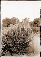 Image of Lythrum Salicaria growing in the Missouri Botanical Garden.