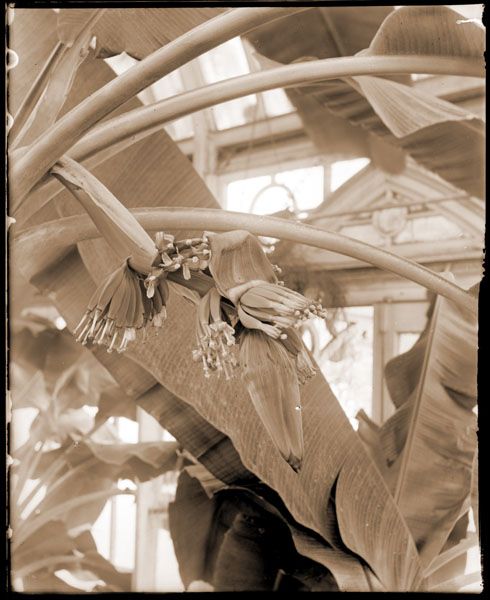 Image of Musa growing in greenhouse.