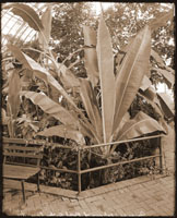 Image of Banana Pit on balcony of Floral Display House.