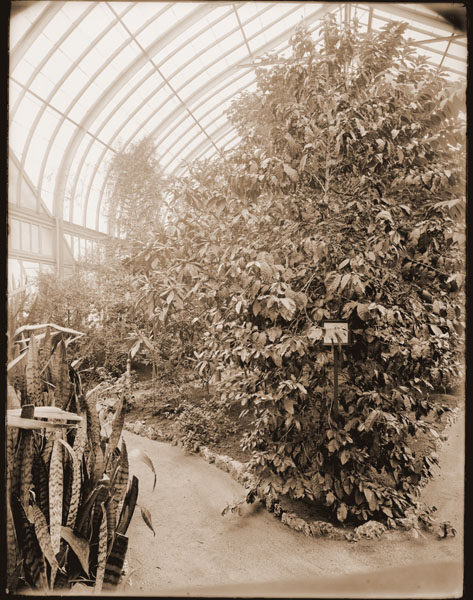 Image of Economic House interior.  View is to the north by west from south door.  Coffee tree in fruit visible.  1- 6 1/2 x 8 1/2 in. black and white print.