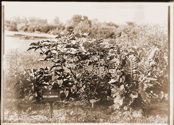 Image of Medicinal Garden, 1908.  One of two photographs of the medicinal garden.  Three copies, one mounted.
