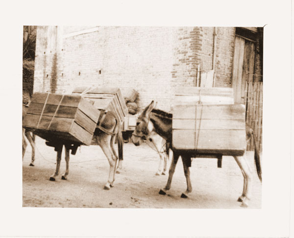 Image of Scene from the Colombian Expedition, c.1923.  Pack mules arriving at Giradot with cases of orchids.