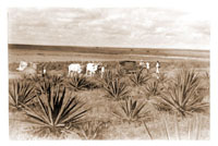 Image of Scene from the Colombian Expedition, c.1923.  Copy negative available.  Cattle grazing before serras near Loge de Alto, Bahia.
