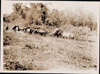 Image of Scene of Expedition.  Orchids leaving on pack mule from Natagaima to route to upper Magdalena River.  MBG Bull. 11, 1923.  pl. 22, pg. 88.