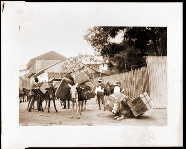 Image of Scene from the Colombian Expedition, c.1923.  Copy negative available.  Burros packed with their boxed orchids ready to set out from a native Colombian village for a river port, from which the flowers were shipped to St. Louis.