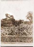 Image of Mixed vegitable garden with rows of corn and kale. Trees in background. Hedge in foreground.