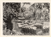 Image of Chrysanthemum Show - 1945.  Mounted with PHO 2005-0003.