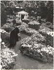 Image of Chrysanthemum Show - 1948