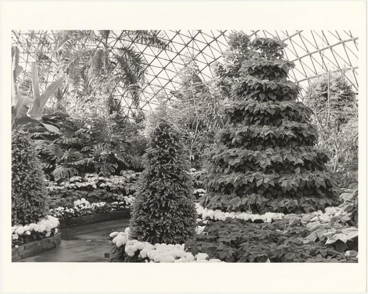 Image of Climatron Interior I - Poinsettia Tree 15' tall