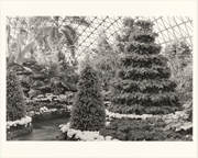 Image of Climatron Interior I - Poinsettia Tree 15' tall