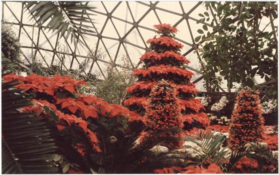 Image of Climatron Interior II Christmas - Poinsettia tree.