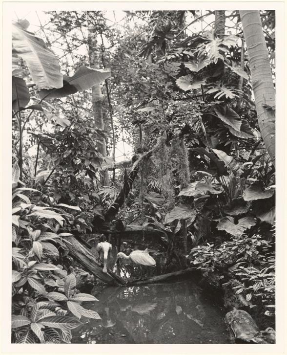 Image of Climatron Interior II.  Roseate spoonbills introduced into the Climatron by the St. Louis Zoo in Fall 1971.