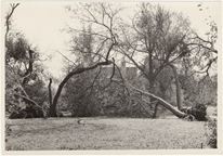 Image of Windstorm and hail damage 1 Sep 46.  Catalpa trees planted by Henry Shaw.