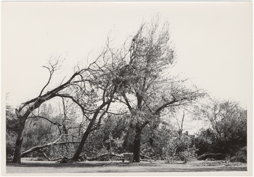 Image of Windstorm and hail damage 1 Sep 46.  Osage orange and Catalpa trees.  Same as PHO 2005-0552.