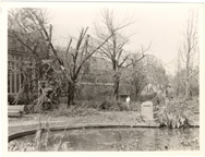 Image of Damage (Wind & hail 1 Sep 1946).   Gingko trees and pool plantings, similar to Dam 1-1