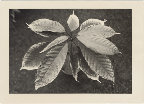 Image of Cocoa plant. Smoke damage. 1930s?  Theobroma cacao?