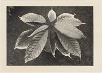 Image of Cocoa plant. Smoke damage. 1930s?  Theobroma cacao?