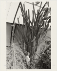 Image of Torch cactus, Cereus validus, is one of the giant cacti on display in the Desert House.  Mrs. Gene Jarvis, volunteer, gives perspective to the giant specimen.  MBG Bull 56(10):5 (Oct. 1977).
