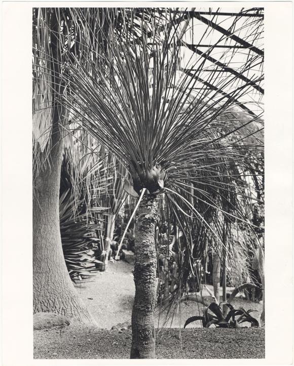 Image of Dasylirion quadrangulatum.  Desert Spoon - from 1904 World's Fair - Mexican exhibit.