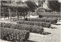 Image of Hedge Garden in Economic Garden.  Nov 1940 - Bulletin.  Mounted with PHO 2005-0670 and PHO 2005-0671.