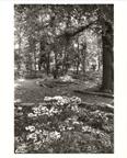Image of English Woodland Garden.  May 1977