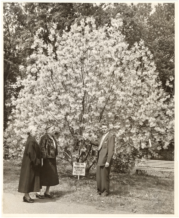 Image of Fringe tree transplanted at MBG from home of Harry Collins, MBG volunteer who died suddenly in March, 1954.