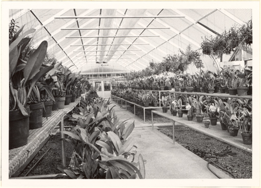 Image of Greenhouse interior.  Concrete walkways, new fibreglass roofing, better arrangements of benches, and improved heating and watering systems have made the care of the Garden's orchid collection not only easier, but better for the plants.  Bulletin, Jan-Feb 1972