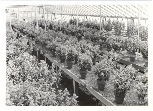 Image of Horticulture.  Interior of greenhouse  Negative available at PHO 2006-1215.
