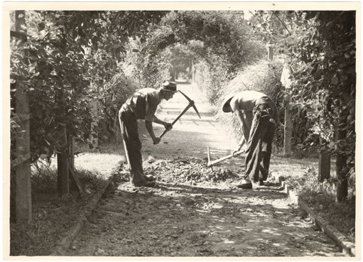Image of Paving middle pathway in Economic Garden late 1940's.  Digging cinder-macadam foundation.
