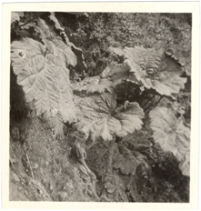 Image of Giant herb (Gunnera insignis).  Vol. 31 - Oct. 1943, p. 159.  Same as PHO 2007-0241.